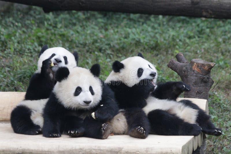 3 Panda Cubs juguetón en Chongqing, China fotos de archivo
