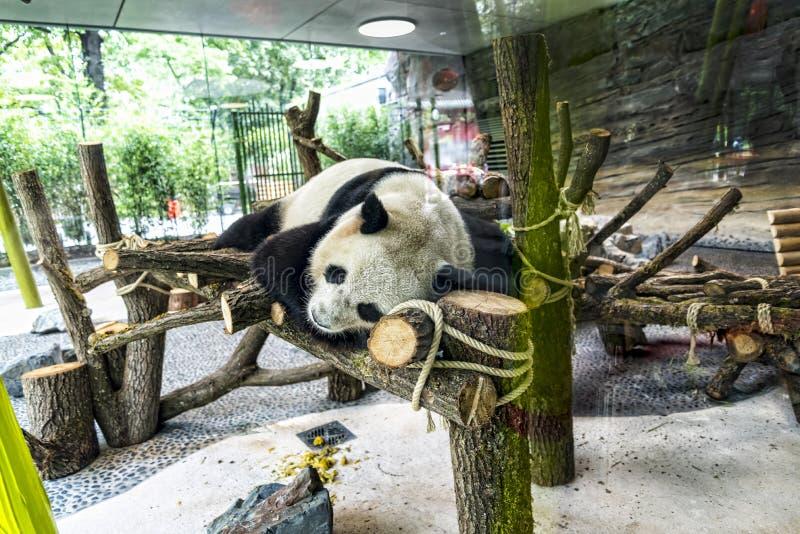 Panda dans les jardins zoologiques en Allemagne photo stock