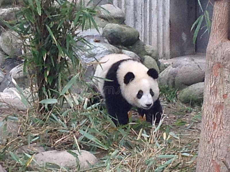 Panda dans une clôture photo stock