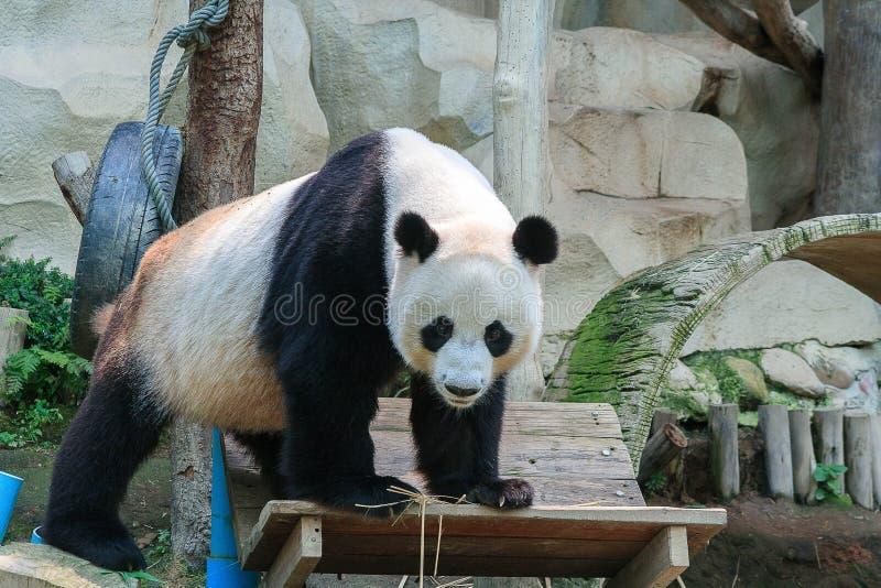Panda de Gian en el parque zoológico fotografía de archivo libre de regalías