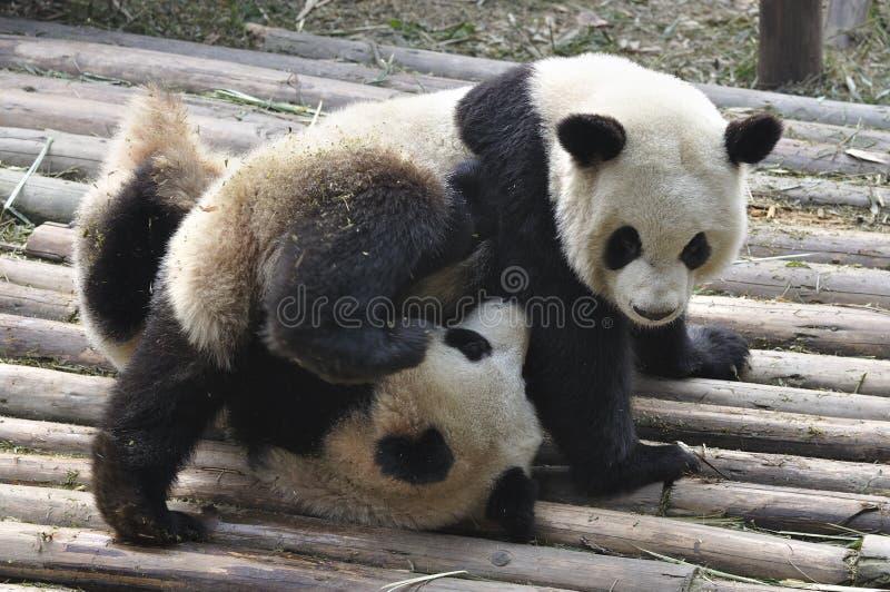 Panda de la Chine à Chengdu photographie stock