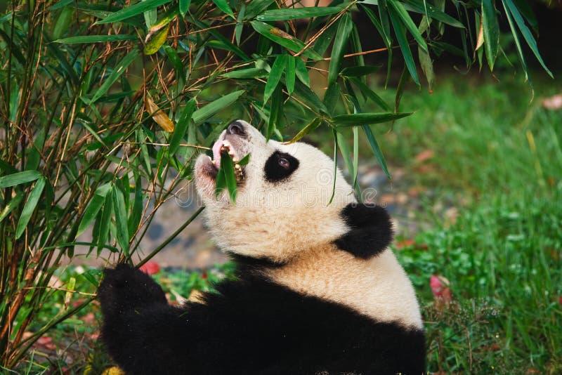 Panda, der Bambus isst stockbilder