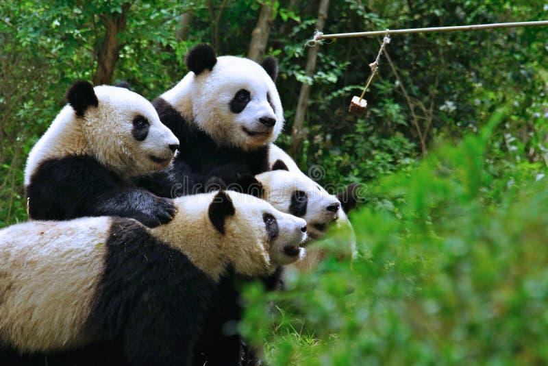 Panda, der für einen Apfel kämpft stockfotografie