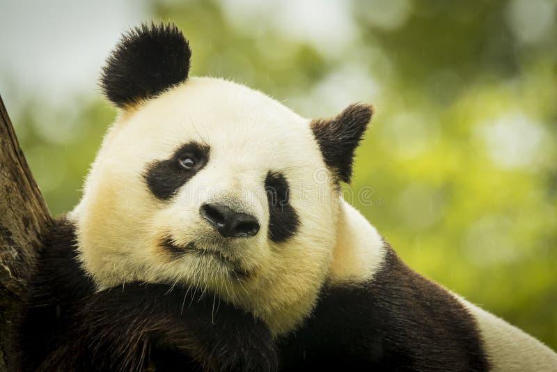 Panda despierta imagen de archivo libre de regalías