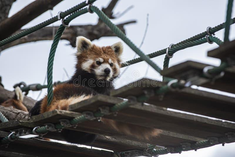 Pandadi Lesserche si rilassa su un ponte sospeso fotografia stock