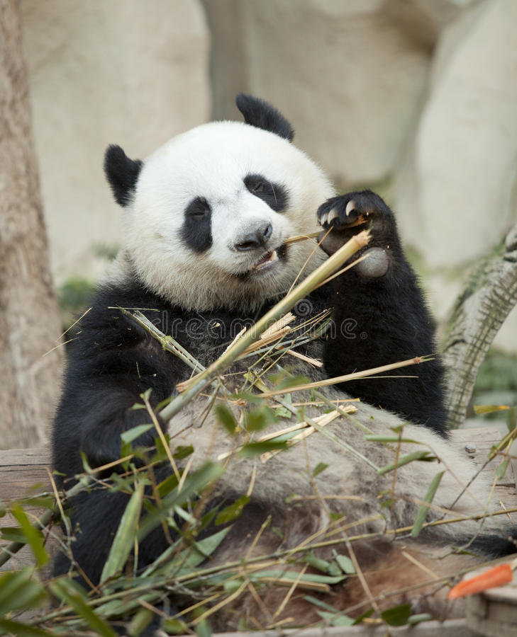Panda die bamboe eet royalty-vrije stock fotografie