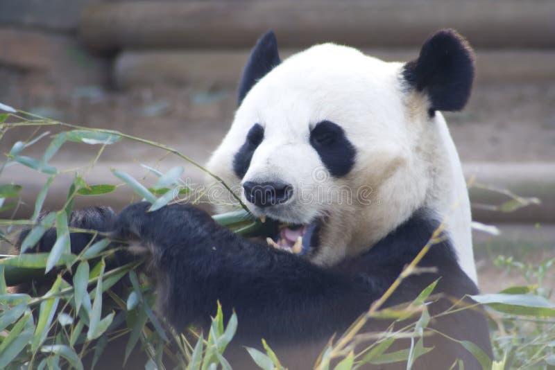 Panda Eating Bamboo Stock Afbeelding
