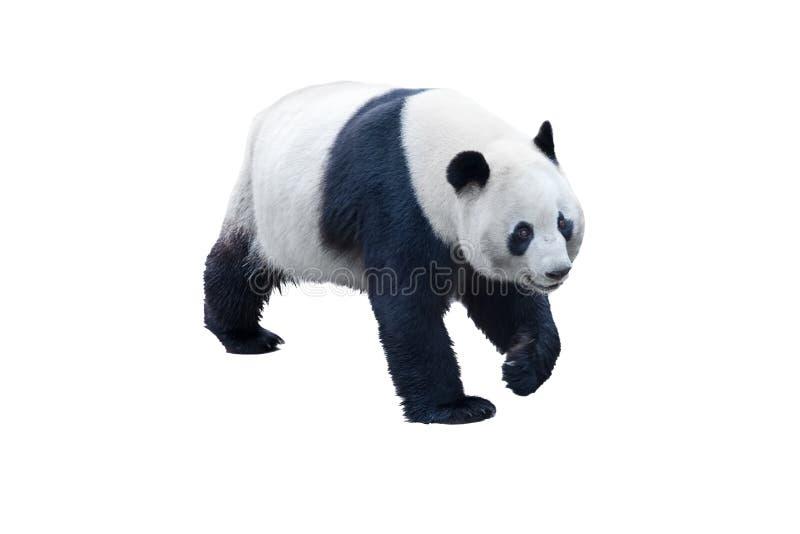 Panda die op wit wordt geïsoleerdt royalty-vrije stock afbeelding