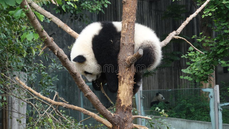 Panda do bebê em Sichuan Panda Reserve foto de stock