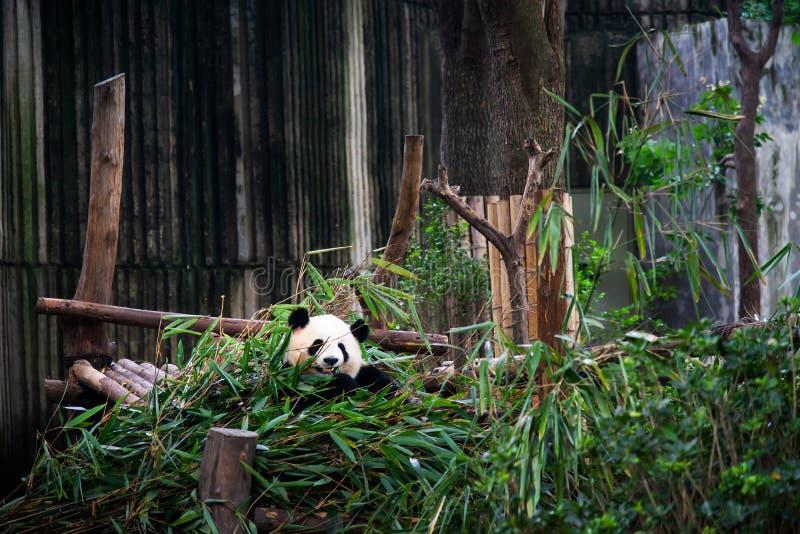 Panda do bebê em uma pilha do bambu em Chengdu, China imagem de stock royalty free
