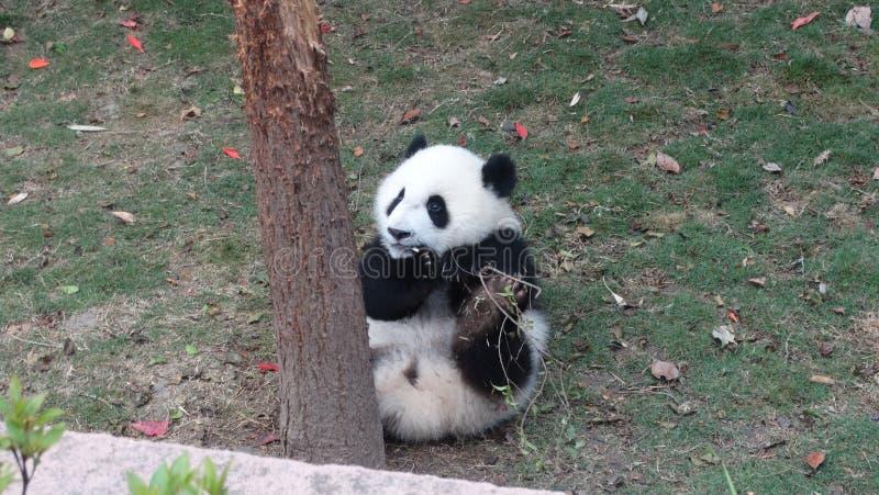 A panda do bebê que come o bambu sae em Sichuan Panda Reserve imagens de stock