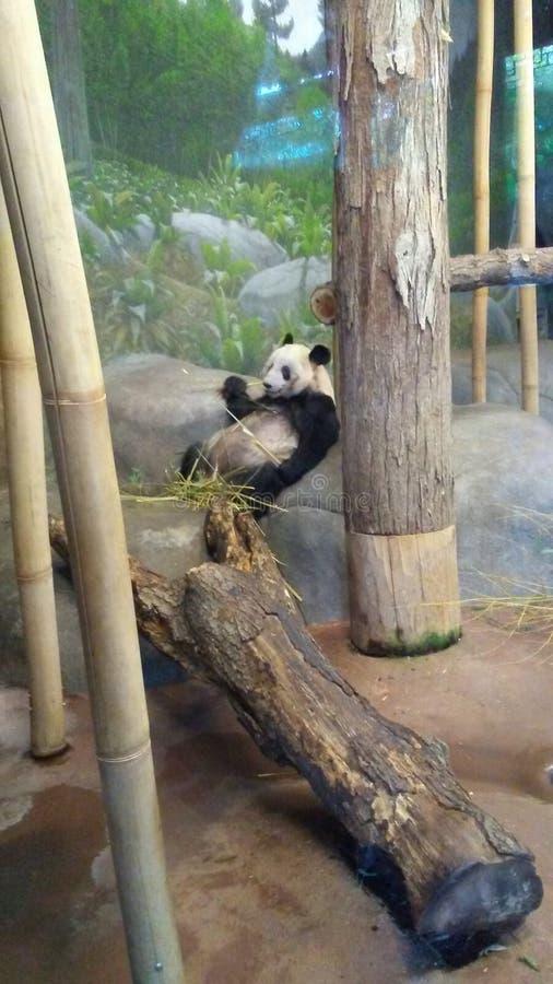 Panda Eating stockbilder