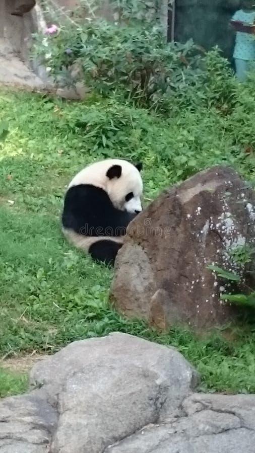 Panda Eating imagenes de archivo