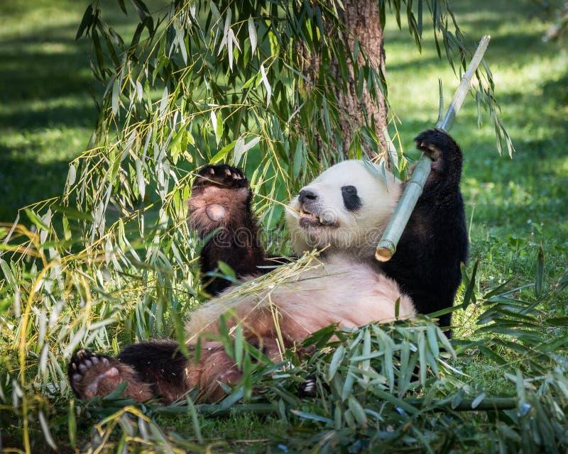 Panda Eating foto de archivo