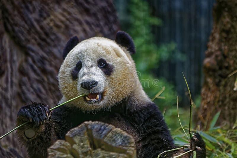 Panda Eating imagen de archivo