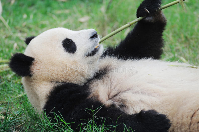 Panda eating bamboo stock image