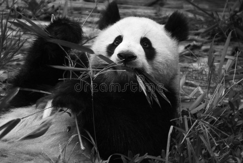 Panda Eating Bamboo stock photos