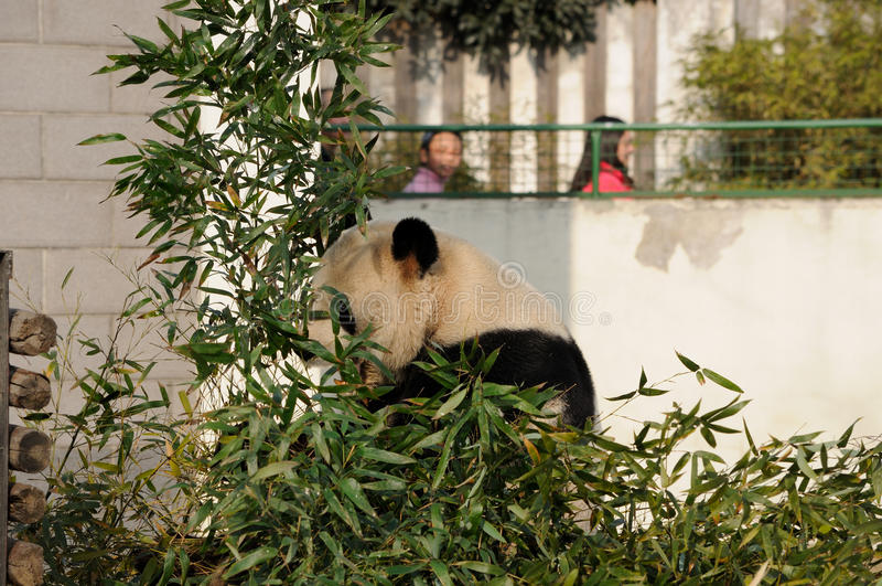 Panda eating. A panda eating bamboo in the Hefei wild animal park in Hefei China with you girls looking into the enclosure stock photo