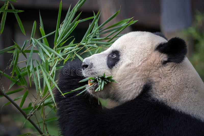 Panda is eating bamboo leaves. stock photography