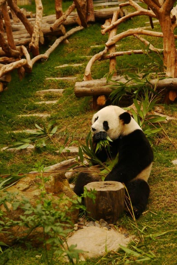 Panda eating bamboo leaves stock images