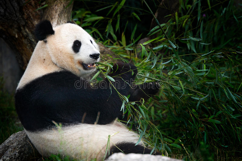 Panda eating bamboo. Wildlife scene from China nature. Portrait of Giant Panda feeding bamboo tree in forest. habitat. Cute black. And white animal royalty free stock images