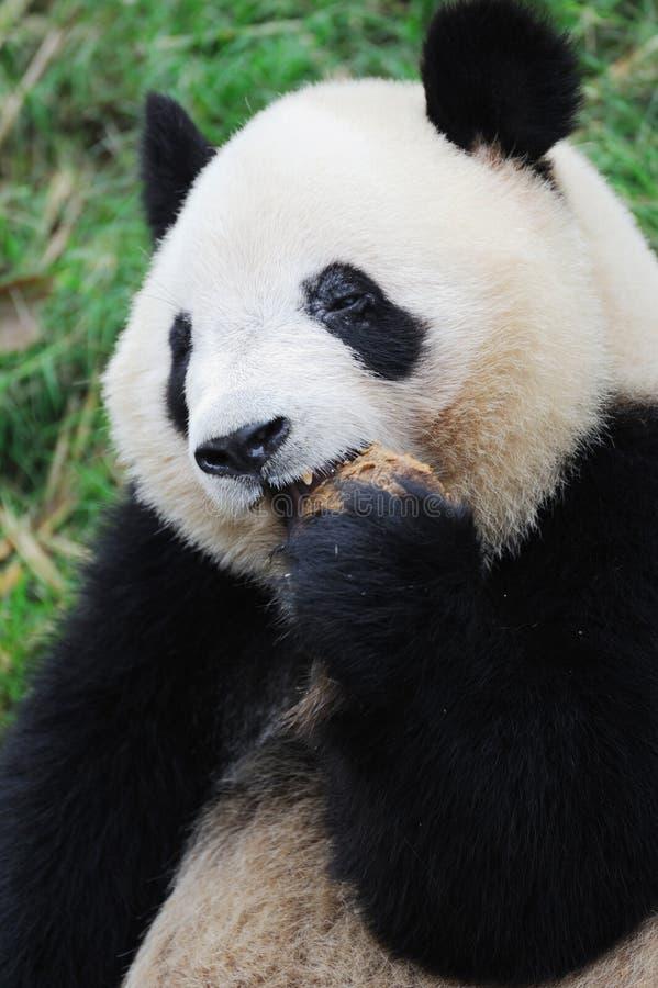 Download Panda eating cake. stock photo. Image of breeding, baby - 19802116