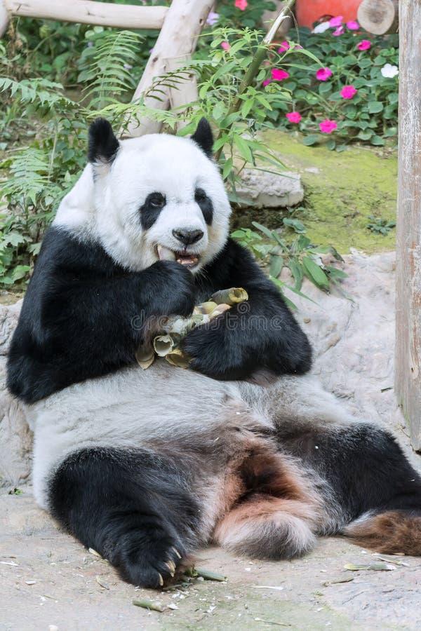 Panda Eating Fresh Bamboo en boca fotos de archivo