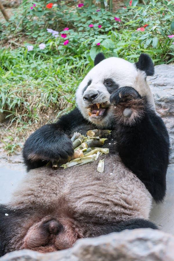 Panda Eating Fresh Bamboo en boca fotografía de archivo libre de regalías