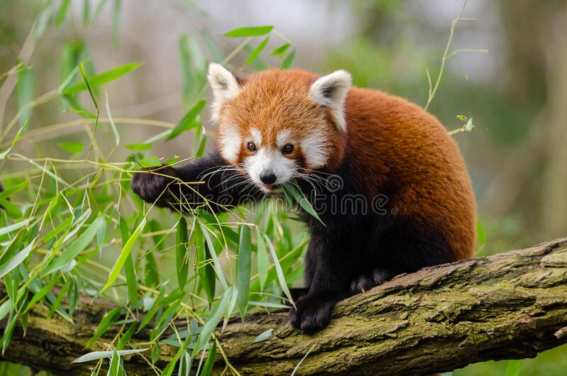 Panda Eating Green Leaf rojo en rama de árbol durante d3ia imagen de archivo