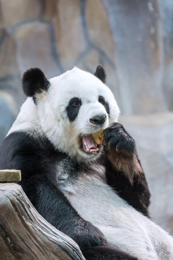 Panda Eating Red Apple en boca foto de archivo libre de regalías