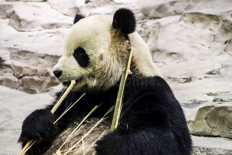 panda in guangzhou wildlife zoo stock photo