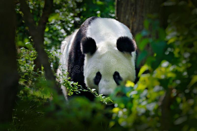 Panda en la vegetación forestal verde Escena de la fauna de la naturaleza de China Retrato de la panda gigante que alimenta en el imagenes de archivo