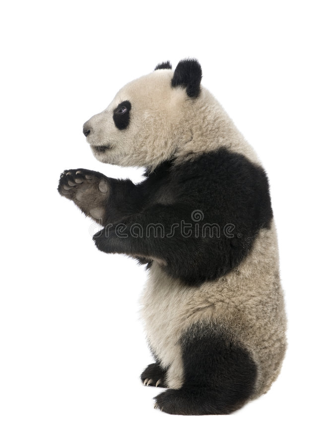 panda för 18 jätte- melanoleucamånader för ailuropoda arkivbilder