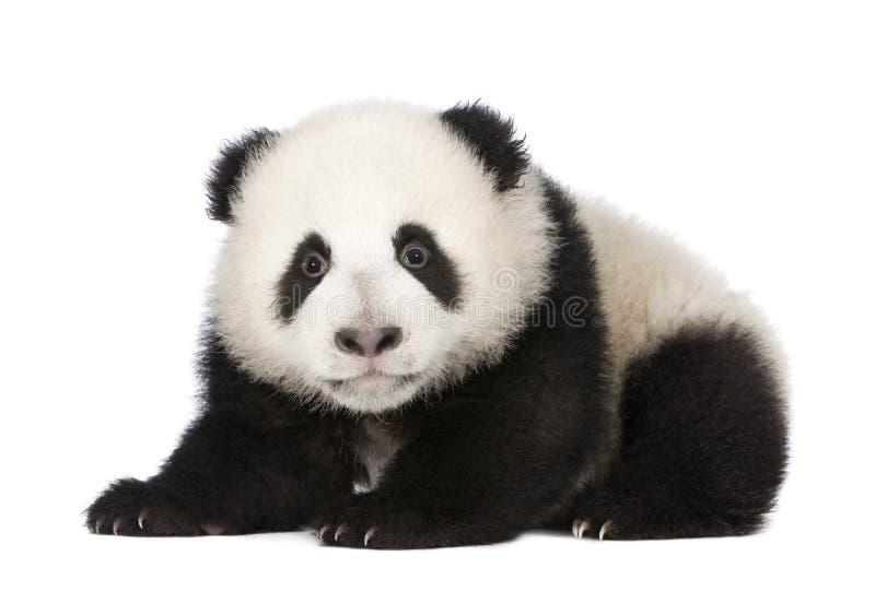 panda för 4 jätte- melanoleucamånader för ailuropoda arkivfoton