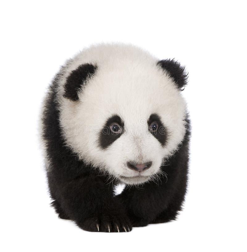 panda för 4 jätte- melanoleucamånader för ailuropoda arkivbild