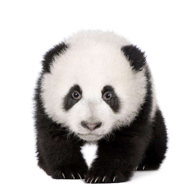 panda för 4 jätte- melanoleucamånader för ailuropoda fotografering för bildbyråer