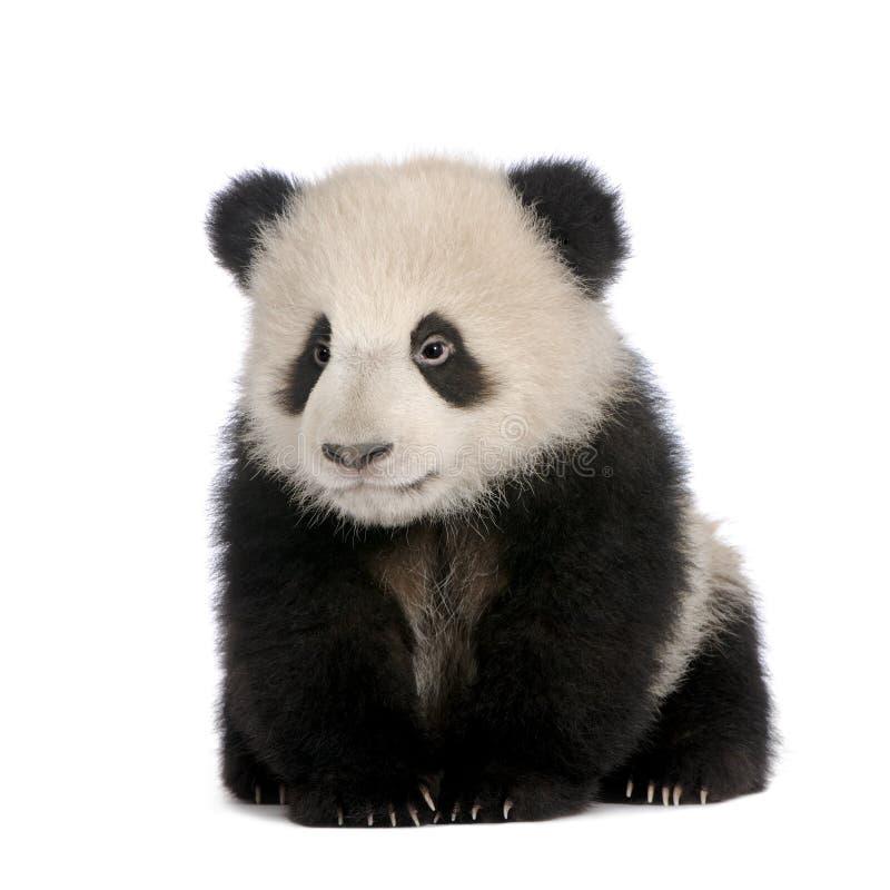 panda för 6 jätte- melanoleucamånader för ailuropoda arkivbilder