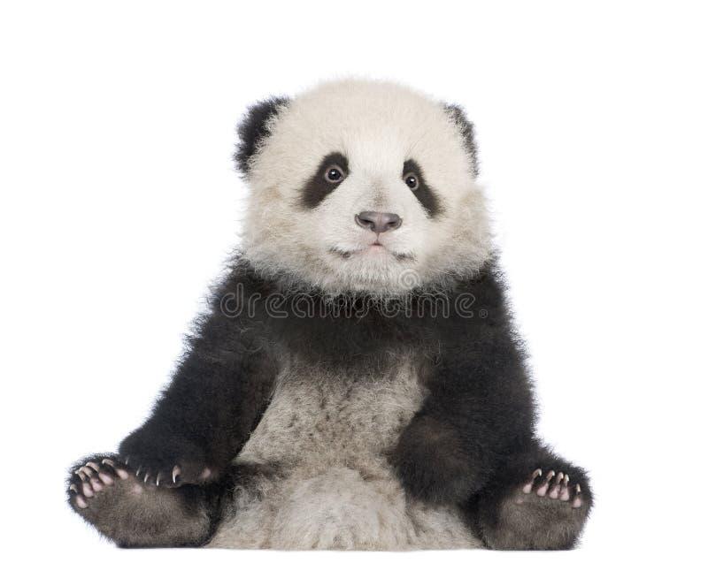 panda för 6 jätte- melanoleucamånader för ailuropoda arkivfoto