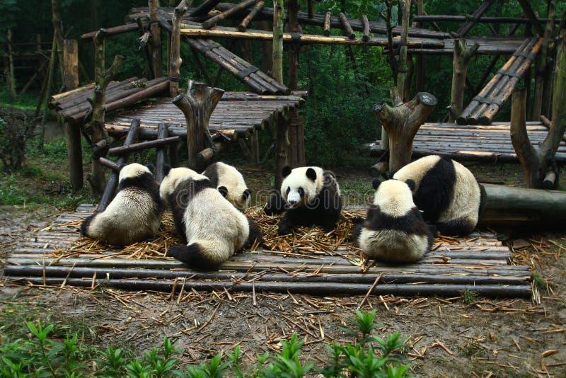Panda Family på den Chengdu forskninggrunden av jätten Panda Breeding royaltyfri foto