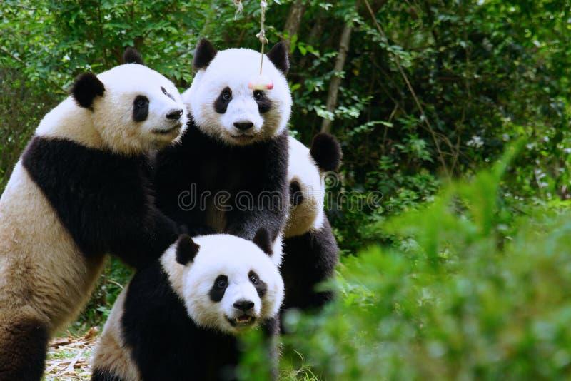 Panda fighting for an apple stock photos