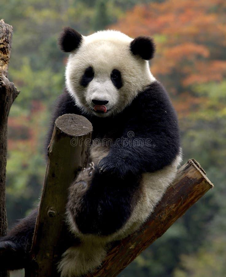 panda figlarne obrazy stock