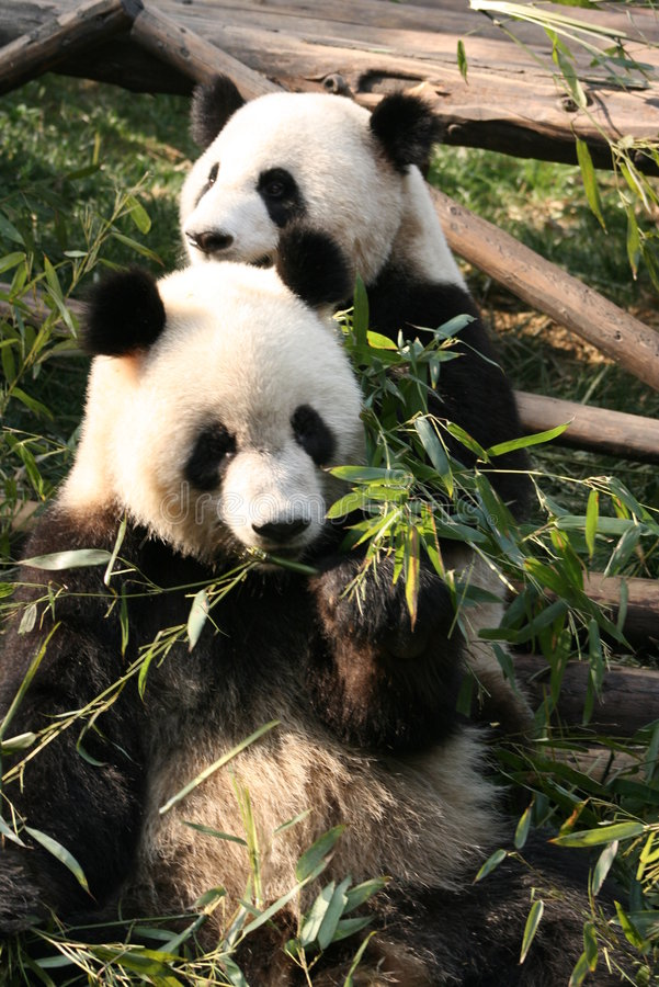 Panda géant 2 photos libres de droits