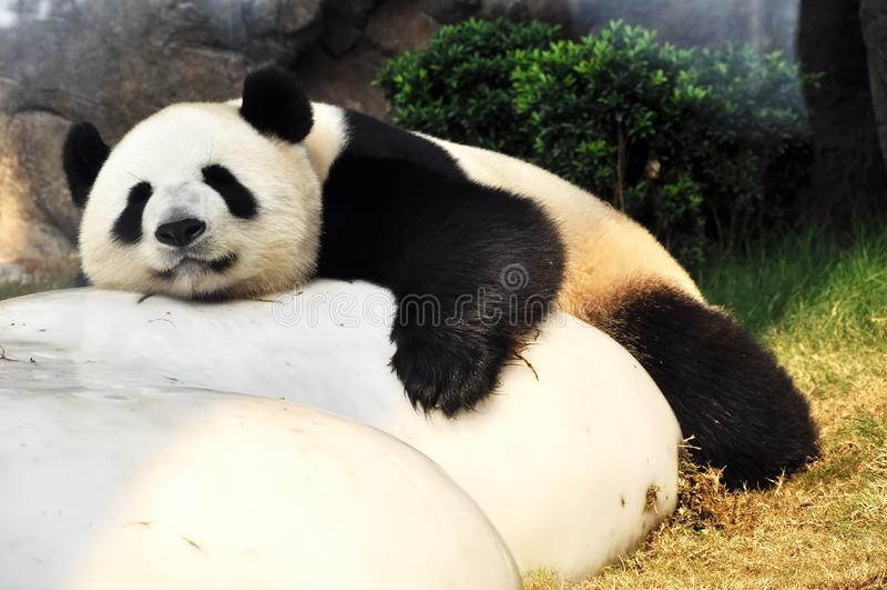 Panda géant image libre de droits