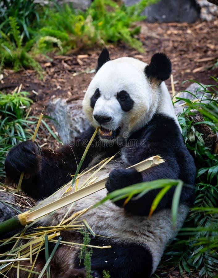 Panda géant dans l'environnement de zoo photo libre de droits