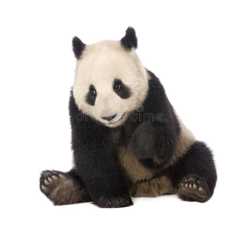 panda géant de 18 d'ailuropoda mois de melanoleuca images libres de droits