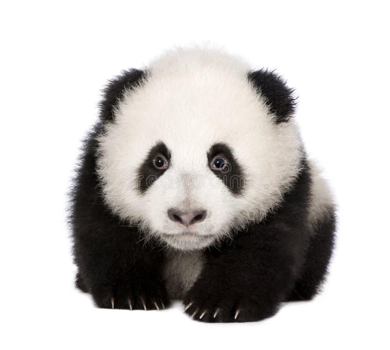 panda géant de 4 d'ailuropoda mois de melanoleuca images libres de droits