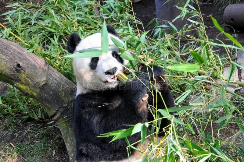 Panda géant prenant le déjeuner au zoo de San Diego photo stock