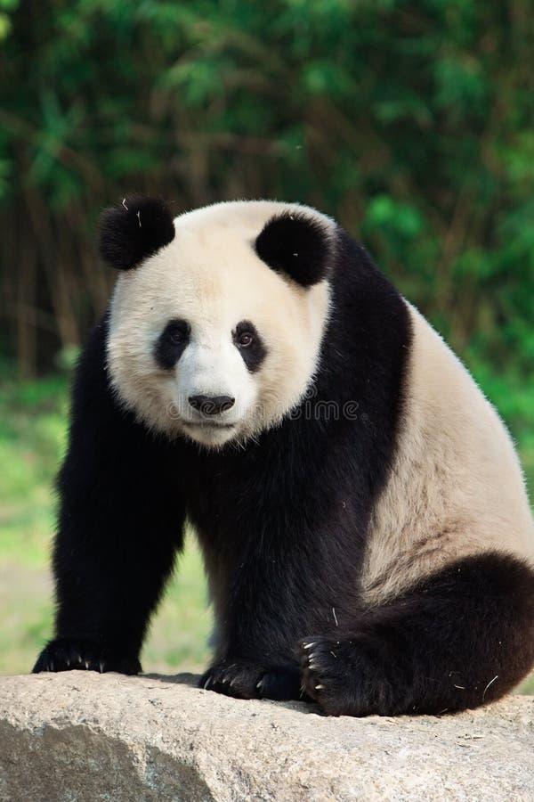 Panda géant se reposant photo stock