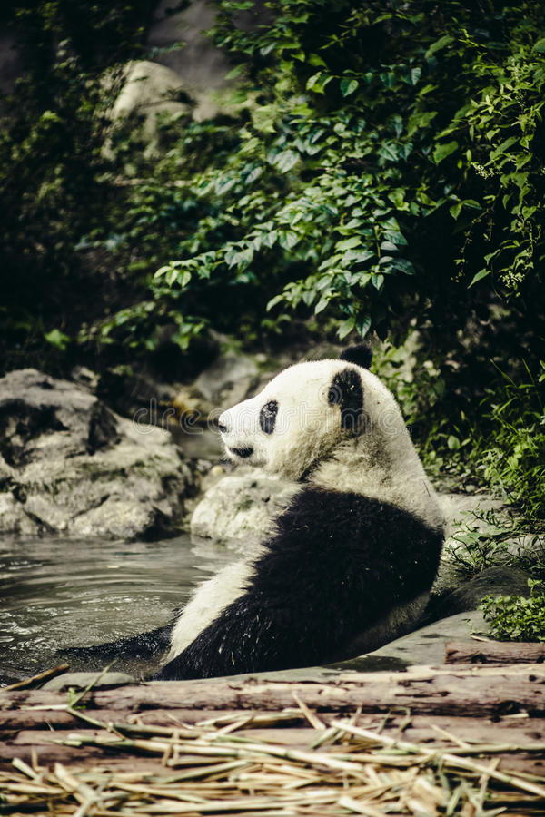 Panda géant se reposant dans l'eau photo stock