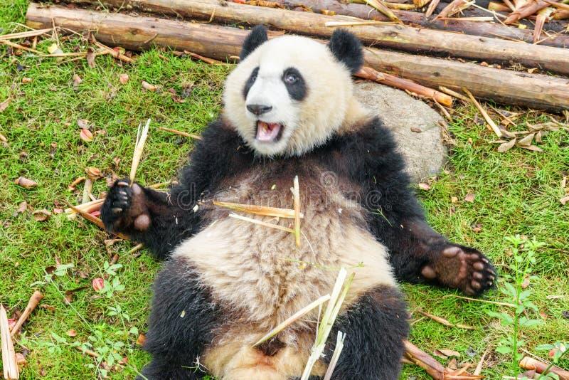 Panda géant tenant le bambou et regardant la caméra image stock